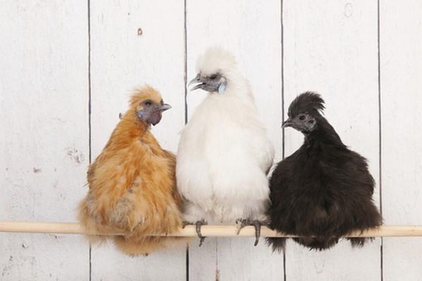 poule soie montpellier